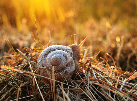 Snail, Sunset, Grass, Mollusk, Shell, Reptile, Slowly