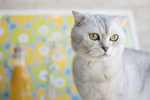 Cat, Scottish Fold, Pet, Animal, Scottish, Fold