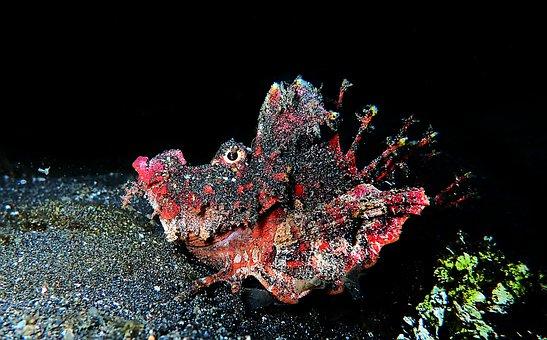 Scuba, Diving, Macro, Scuba Diving, Devilfish, Sulawesi