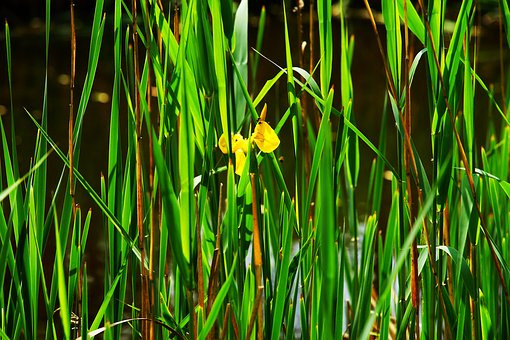 Reed, Water, Water Lily, Blossom, Bloom, Yellow, Lake
