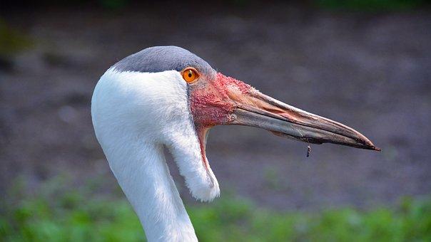 Wattled Crane, Crane, Bird, Nature, Animal