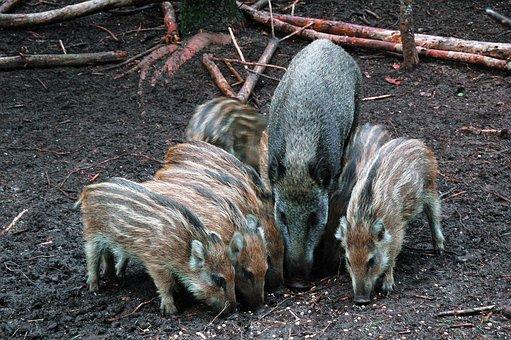 Wild Boar, Frislingen, Veluwe, Forest, Netherlands