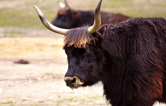 Aurochs, Beef, Cattle, Horns, Wildlife Photography