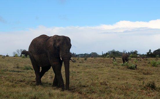 Elephant, Pachyderm, Africa, Animal, Proboscis, Tusks