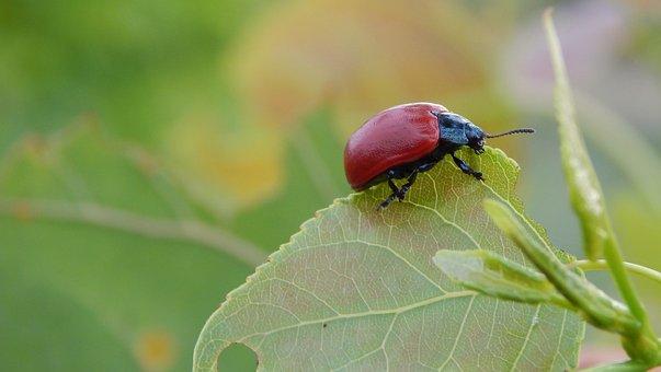 Lina Poplar, Insect, Animal, Macro, Leaf, Plant, Nature