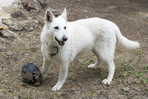 White Dog, Dog, Pets, Animals, White, Devotion, View