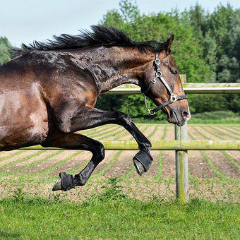 Horse, Bai, Gallop, Grass, Play