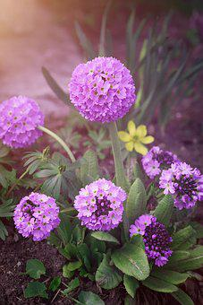 Drumstick, Ball-primrose, Primrose, Garden
