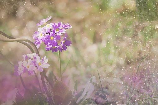 Drumstick, Primrose, Ball-primrose, Flower, Pink
