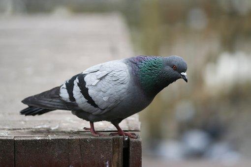 Pigeon, Bird, Fly, Animal, Nature, Wing, Beautiful