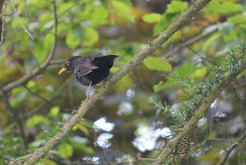 Blackbird, Songbird, Bird, Nature, Plumage, Bill, Tree