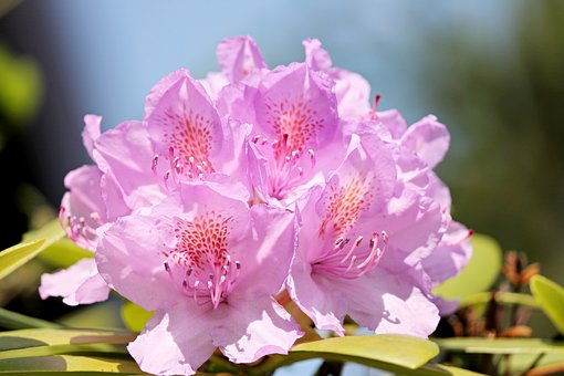 Rhododendron, Blossom, Bloom, Violet, Flower, Nature