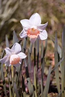 Daffodils, Garden, White And Orange Daffodil, Blossom