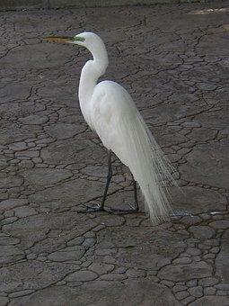 Snowy Egret, Egret, Egretta Thula, Wild, Feather