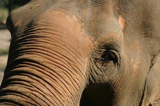 Elephant, Eye, Animal, Wildlife, Mammal, Head, Face