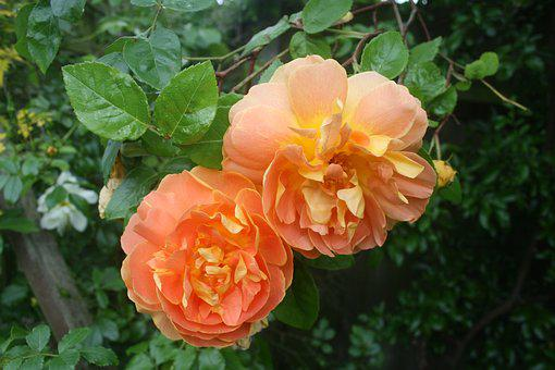 Rose, Orange, Flower, Fresh, Petal, Nature, Spring