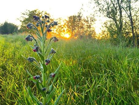Lupine, Sunset, Spring, Nature, Flower, Plant, Grass