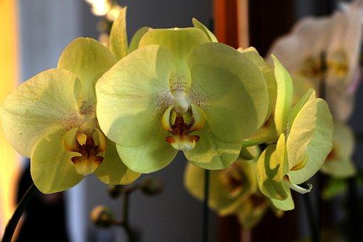 Flower, Phalaenopsis, Yellow Flowers