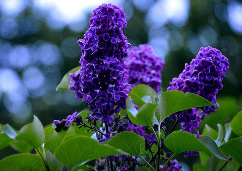 Purple, Lavender Flowers, Flower, Nature, Fragrance