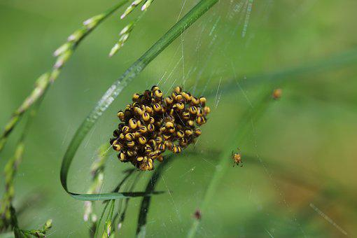 Spider, Cross Spider, Baby Spiders, Garden Cross Spider