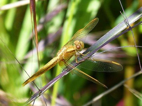 Golden Dragonfly, Sympetrum Meridionale, Leaf, Wetland