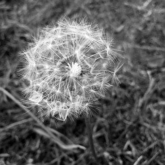 Dandelion, Grass, Nature, Green, Spring, Flower, Meadow