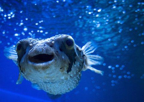 Blowfish, Sea, Ocean, Underwater, Marine, Wildlife