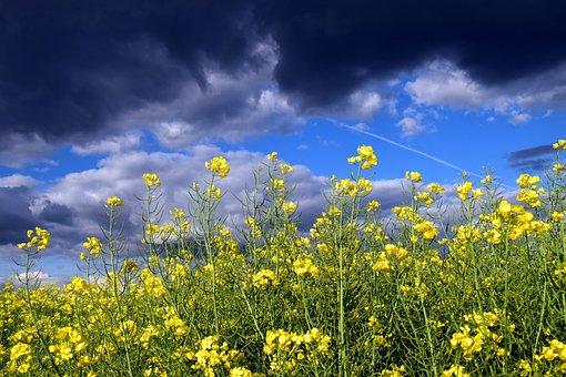 Oilseed Rape, Close, Blossom, Bloom, Nature, Yellow