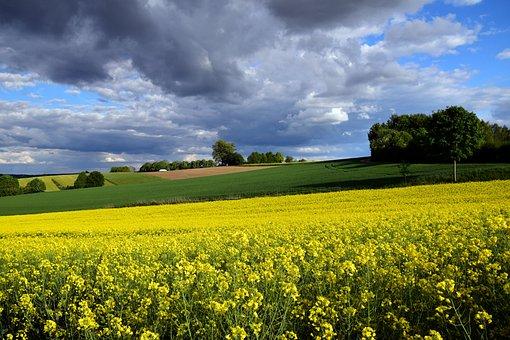 Oilseed Rape, Field Of Rapeseeds, Yellow, Field