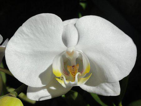 Flower, Orchid, Phalaenopsis, White Orchid