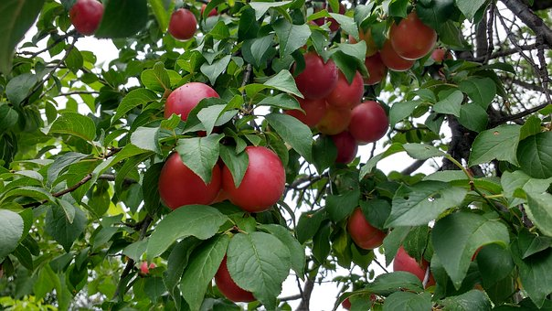 Red Plums, Plum, Ripe Plums, Plums On Tree, Fruit, Red