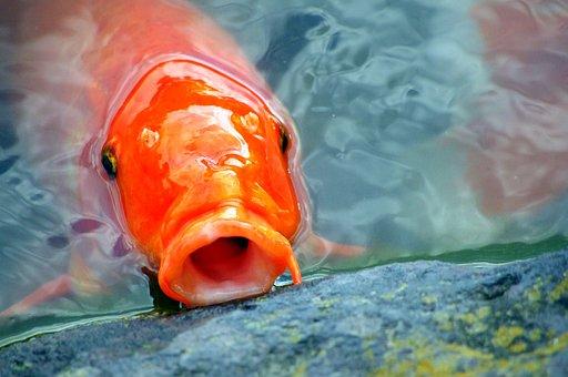 Carp, Japan, Fish, Aquarium Fish, Pond, Colored Carp