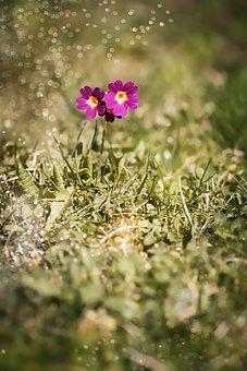 Primrose, Auricula, Alpine Auricula, Primula Auricula