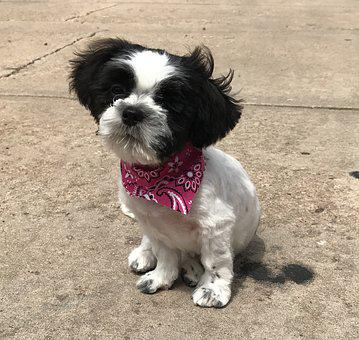 Shih Szu, Puppy, Cute