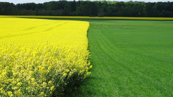 Rapeseed Field, Grass Field, Landscape