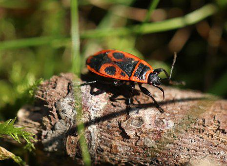 Gendarme, Insect, Red Thumbtack, Garden, Bug