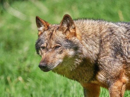 Wolf, Scheu, Nature, Forest, Animal, Pack Animal