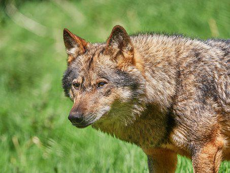 Wolf, Scheu, Nature, Forest, Animal, Pack Animal