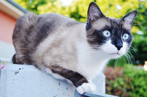 Cat, Eyes, Blue, Siamese, Muzzle, Garden, Paws, Animals