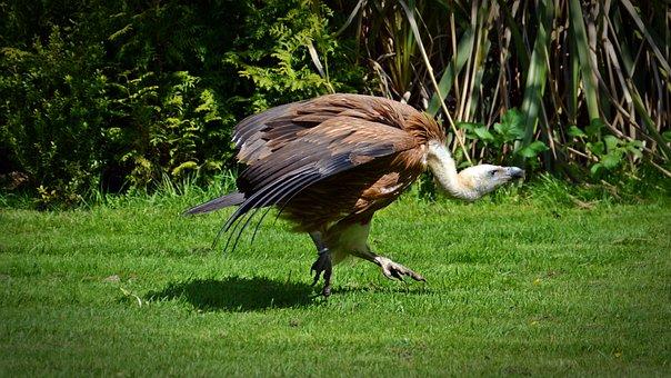 Vulture, Bird, Scavengers, Vultures