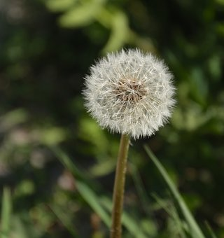 Dandelion, Weeds, Wild, Plant, Seed Position