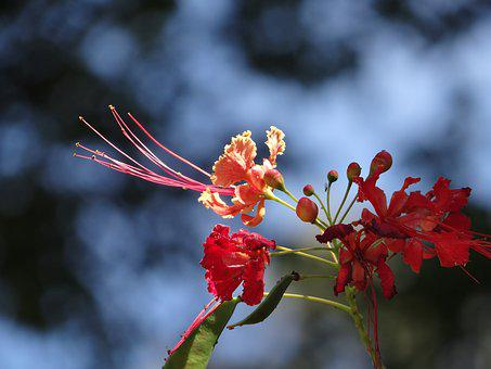 Flower, Flamboyant Tree, Tree, Brazil, Nature