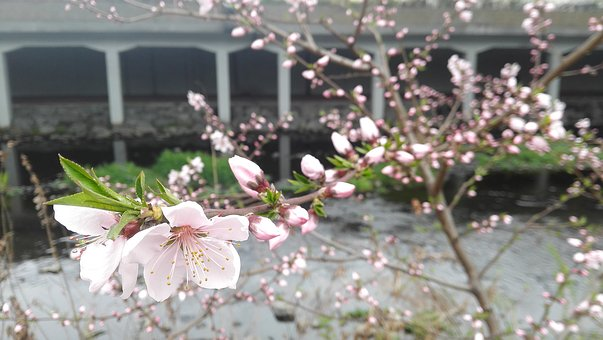 Cherry Blossom, Affix, Flowers, Rivers