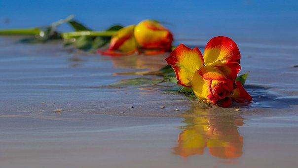 Rose, Flower, Wilted, Floral, Plant, Summer, Love