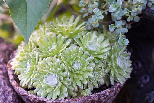 Spinnfaden, Houseleek, Plant, Thick Sheet Greenhouse