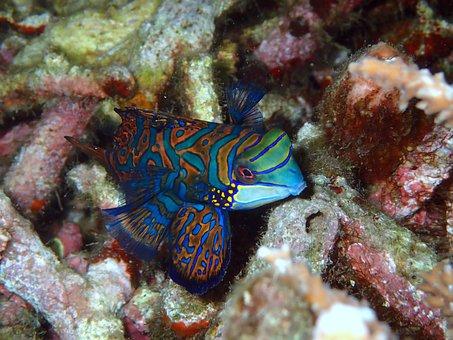 Mandarinfish, Mandarin Fish, Reef, Coral, Soft Coral