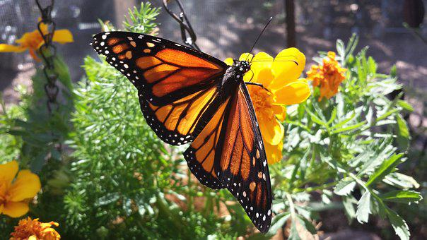 Butterfly, Monarch, Flower, Monarch Butterfly, Insect