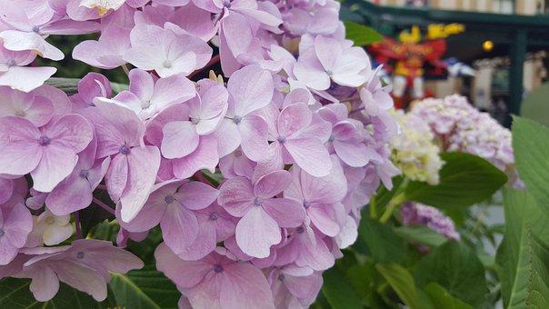 Kogiku, Summer Flowers, Flowers, Pink Flower