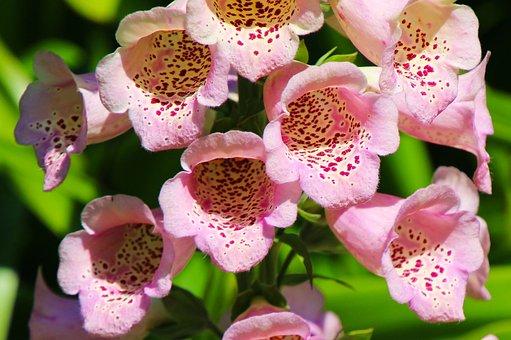 Foxgloves, Flower, Plant, Nature, Garden, Summer