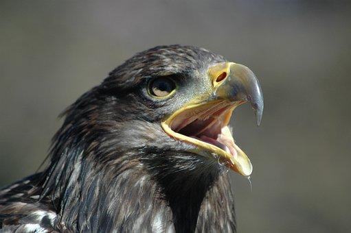 Eagle 5, Raptor, Calling